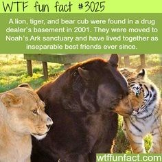 wtf facts - Terrestrial animal - WTF fun fact #3025 A lion, tiger, and bear cub were found in a drug dealer's basement in 2001. They were moved to Noah's Ark sanctuary and have lived together as inseparable best friends ever since. wtffunfact.com