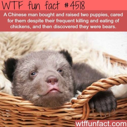 wtf facts - Photo caption - WTF fun fact #4518 A Chinese man bought and raised two puppies, cared for them despite their frequent killing and eating of chickens, and then discovered they were bears. wtffunfact.com