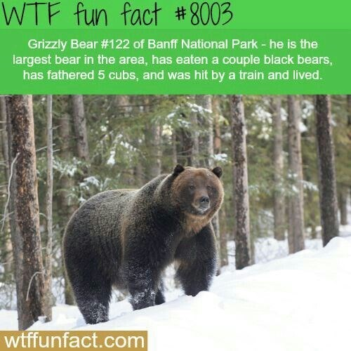 wtf facts - Vertebrate - WTF fun fact # 8003 Grizzly Bear #122 of Banff National Park -he is the largest bear in the area, has eaten a couple black bears, has fathered 5 cubs, and was hit by a train and lived. wtffunfact.com