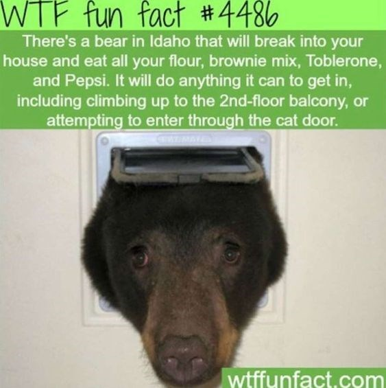 wtf facts - Dog - WTF fun fact #4486 There's a bear in Idaho that will break into your house and eat all your flour, brownie mix, Toblerone, and Pepsi. It will do anything it can to get in, including climbing up to the 2nd-floor balcony, or attempting to enter through the cat door. WRATES wtffunfact.com