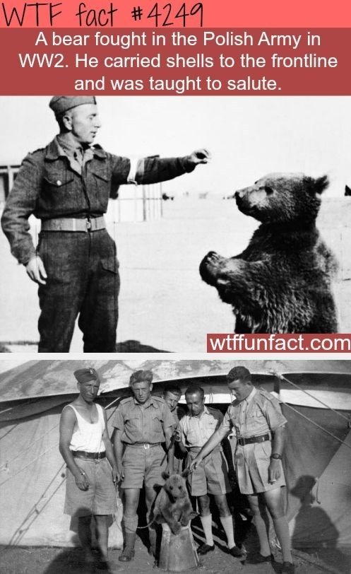 wtf facts - Bear - WTF fact #4241 A bear fought in the Polish Army in WW2. He carried shells to the frontline and was taught to salute. wtffunfact.com