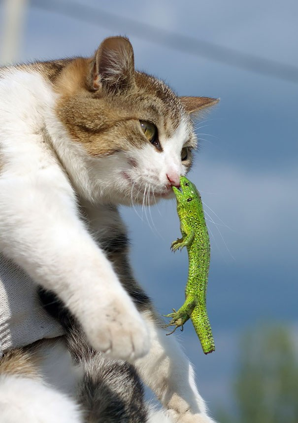 Cat with lizard biting his nose
