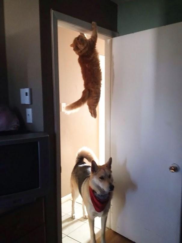 cat hiding like spiderman over doorway with dog