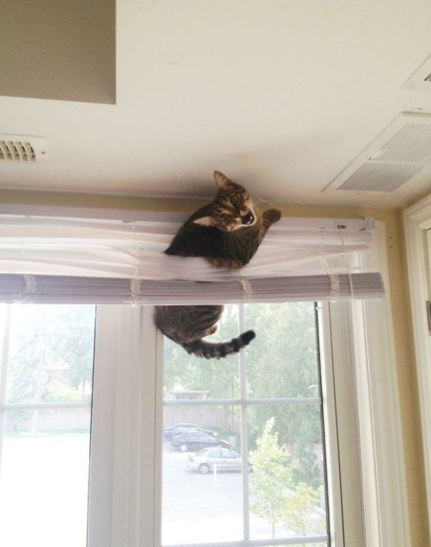 cat stuck in the blind by the ceiling
