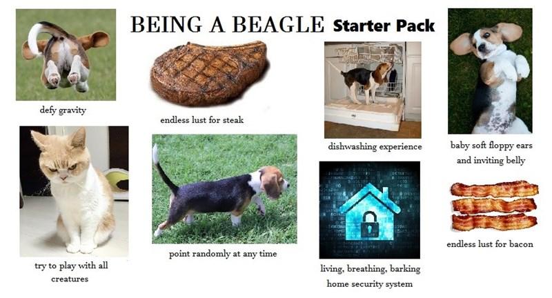 starter pack meme for Beagle dogs