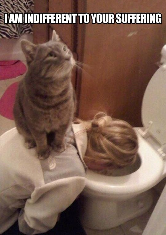 cat being a jerk - Cat - IAM INDIFFERENT TO YOUR SUFFERING as human is throwing up in the toilet