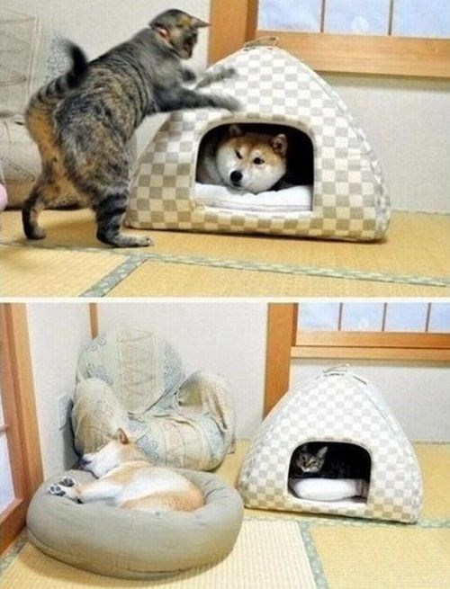 cat being a jerk and kicking the husky dog out of his house to take it for himself