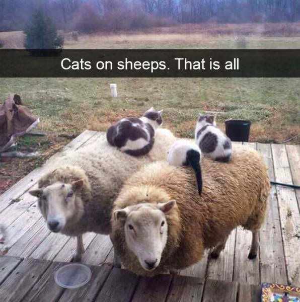 cute cat - Mammal - Cats on sheeps. That is all