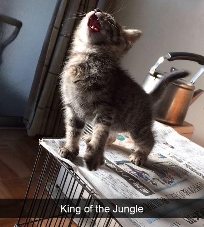 cute cat - Cat - King of the Jungle