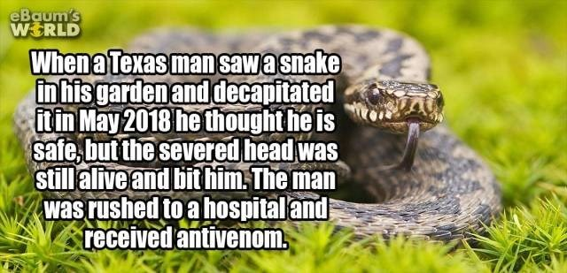 Reptile - eBaum's WERLD Whena Texasman sawasnake in hisgarden and decapitated itin May 2018 he thought he is safe but the severed head was stillalive and bit him The man was rushed to a hospitaland received antivenom