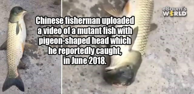 Text - eBaum's WERLD Chinese fishermanuploaded avideoofamutantfishwith pigeon-shaped head which he reportedly caught in June 2018.