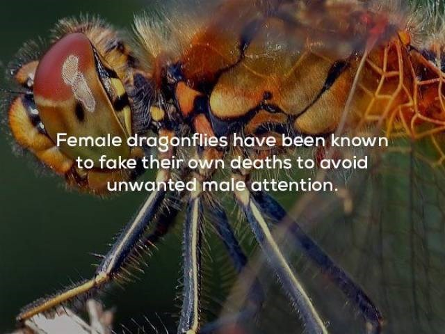 Insect - Female dragonflies have been known to fake their own deaths to avoid unwanted male attention.