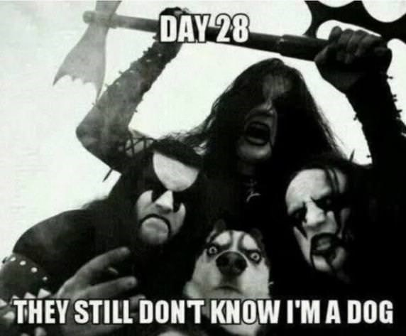 "Pic of a husky surrounded by black metal fans with a caption that reads, ""Day 28: they still don't know I'm a dog"""