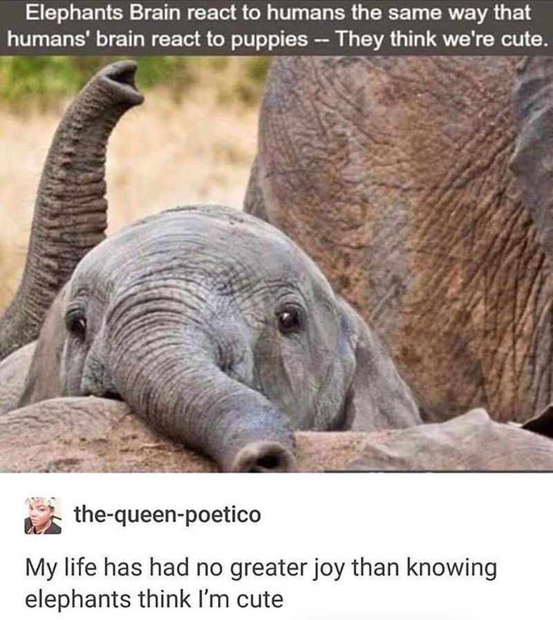 Cute and wholesome meme about how elephants think humans are cute.