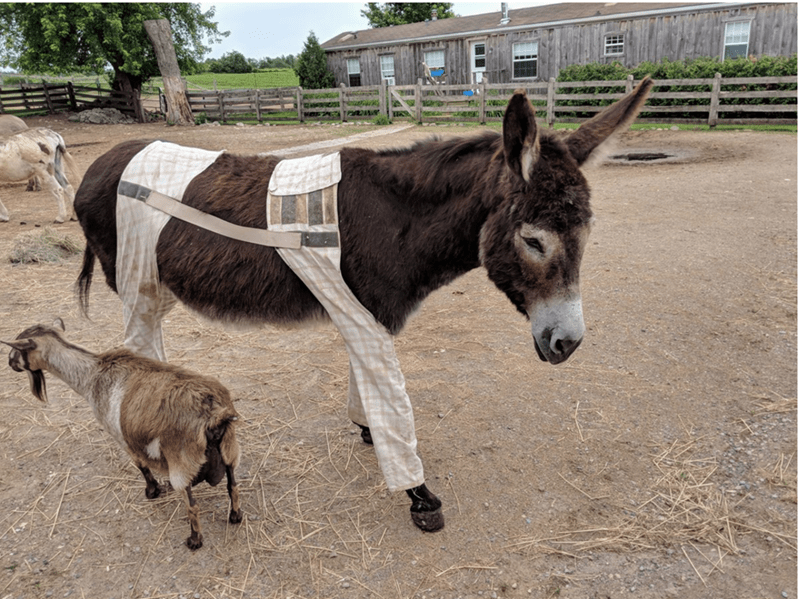 another donkey, again wearing pants Mammal - N