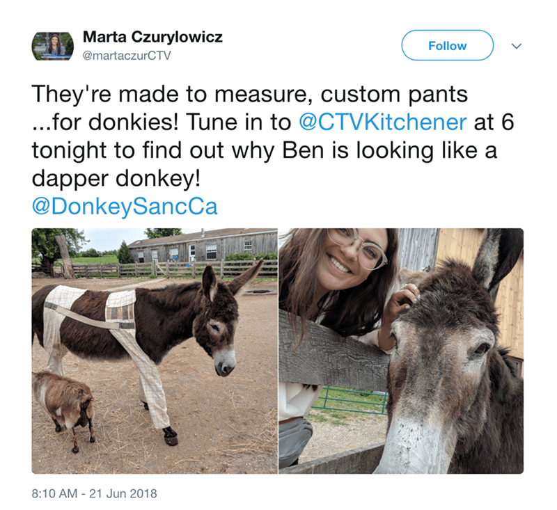 Burro - Marta Czurylowicz Follow @martaczurCTV They're made to measure, custom pants ...for donkies! Tune in to @CTVKitchener at 6 tonight to find out why Ben is looking like a dapper donkey! @DonkeySancCa 8:10 AM 21 Jun 2018