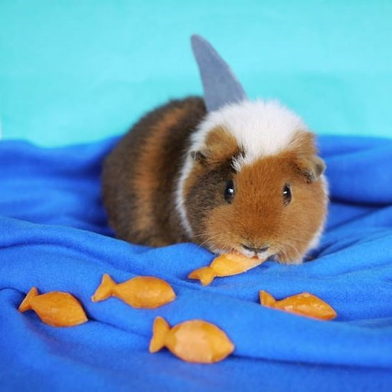 shark week costume - Guinea pig