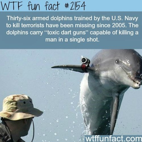"""Marine mammal - WTF fun fact #2154 Thirty-six armed dolphins trained by the U.S. Navy to kill terrorists have been missing since 2005. The dolphins carry """"toxic dart guns"""" capable of killing a man in a single shot. wtffunfact.com"""