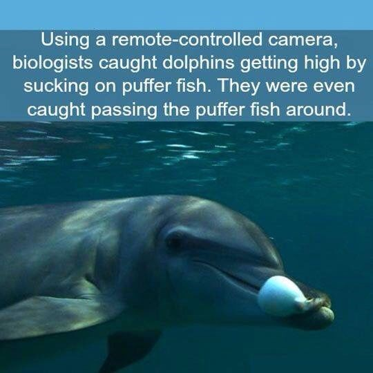 Common bottlenose dolphin - Using a remote-controlled camera, biologists caught dolphins getting high by sucking on puffer fish. They were even caught passing the puffer fish around.