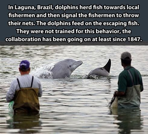 Bottlenose dolphin - In Laguna, Brazil, dolphins herd fish towards local fishermen and then signal the fishermen to throw their nets. The dolphins feed on the escaping fish. They were not traîned for this behavior, the collaboration has been going on at least since 1847.