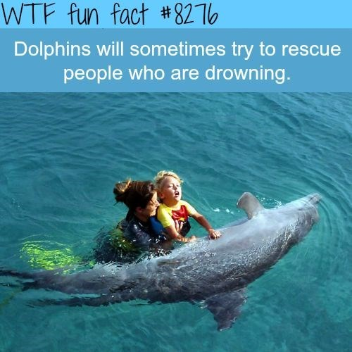 Dolphin - WTF fun fact #8276 Dolphins will sometimes try to rescue people who are drowning.