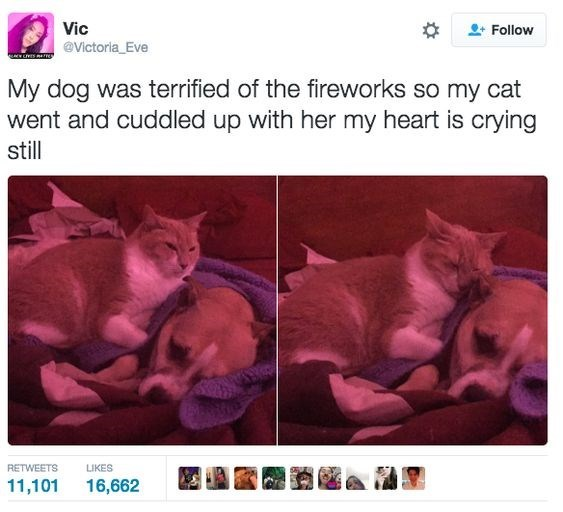 Cat - Vic @Victoria_Eve Follow My dog was terrified of the fireworks so my cat went and cuddled up with her my heart is crying still RETWEETS LIKES 11,101 16,662