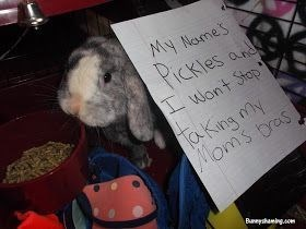 Domestic rabbit - My Names Pickles an wont Stop aking ny Moms bras Buneshaeingom