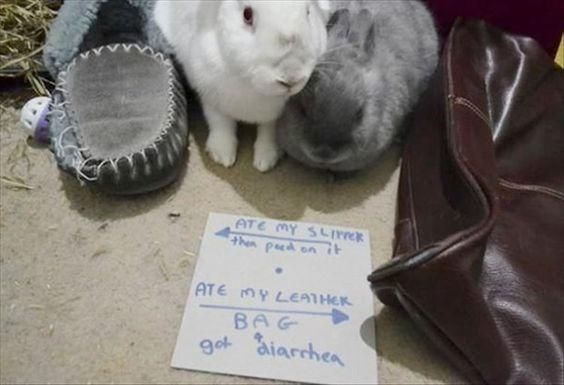 Domestic rabbit - ATE MY SLI Then pd on ATE MY LEATHER BAG got aiarchea