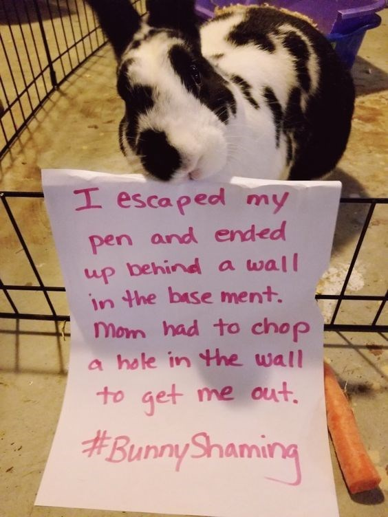 Text - I escaped my pen and ended up behind a wall in the base ment. Mom had to chop a hole in Hhe wall to get me out #BunnyShaming