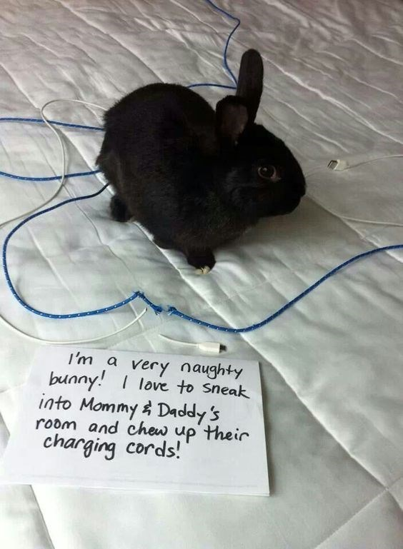 Domestic rabbit - I'm a very naughty bunny love to Sneak into Mommy Daddy's room and chew up their charging cords!