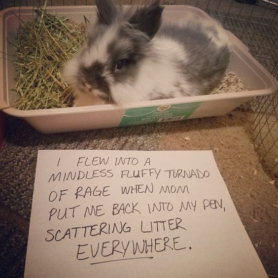 Rabbit - FLEW INTO A MINDLESS FLUFFY TORNADO OF RAGE WHEN MOM PUT ME BACK INTO MY PEN, SCATTERING LITTER EVERYWHERE