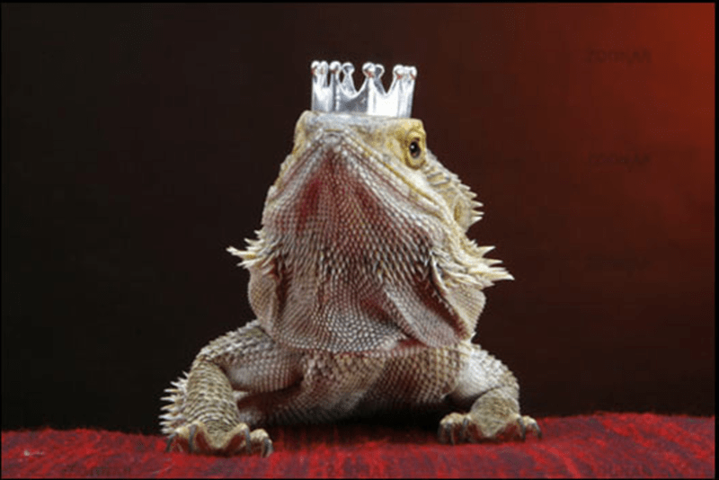 bearded dragon with top hat - Reptile