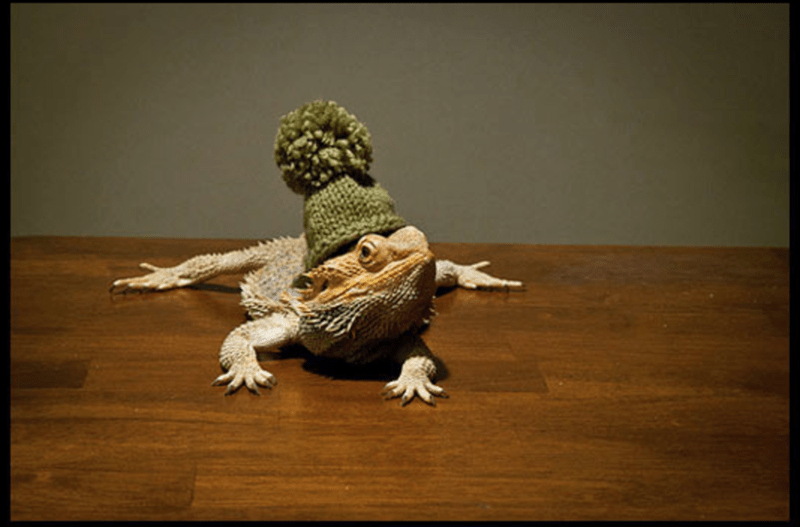 bearded dragon with top hat - Adaptation
