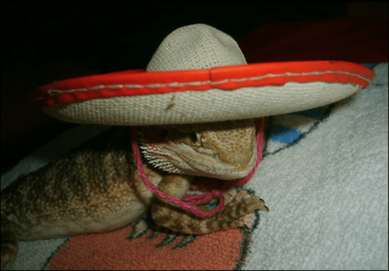 bearded dragon with top hat - Sombrero