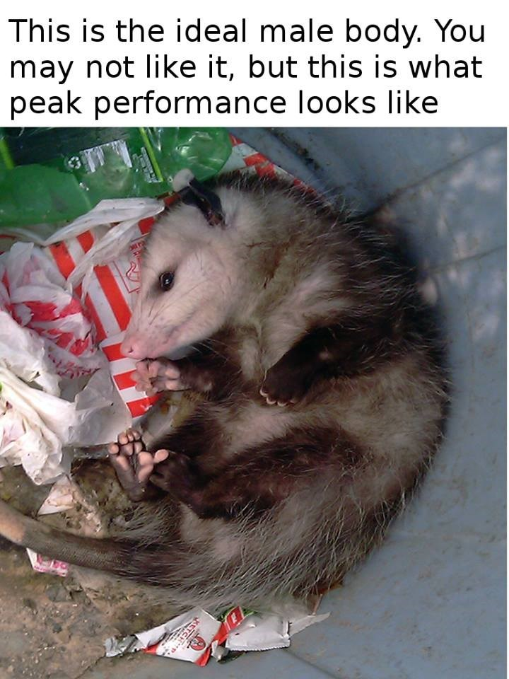 possum meme - Mammal - This is the ideal male body. You may not like it, but this is what peak performance looks like KETCHP