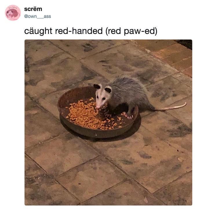 possum meme - Adaptation - ren screm @own ass cäught red-handed (red paw-ed)