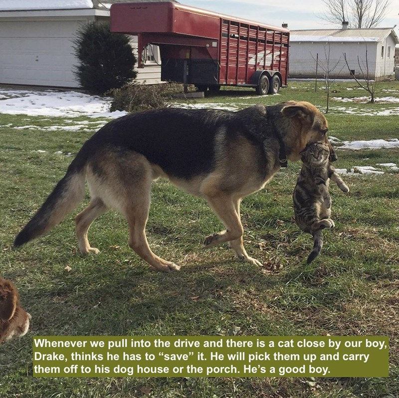 """Dog - Whenever we pull into the drive and there is a cat close by our boy, Drake, thinks he has to """"save"""" it. He will pick them up and carry them off to his dog house or the porch. He's a good boy."""