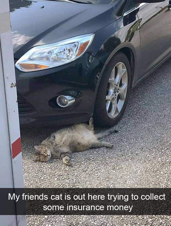 White - My friends cat is out here trying to collect some insurance money