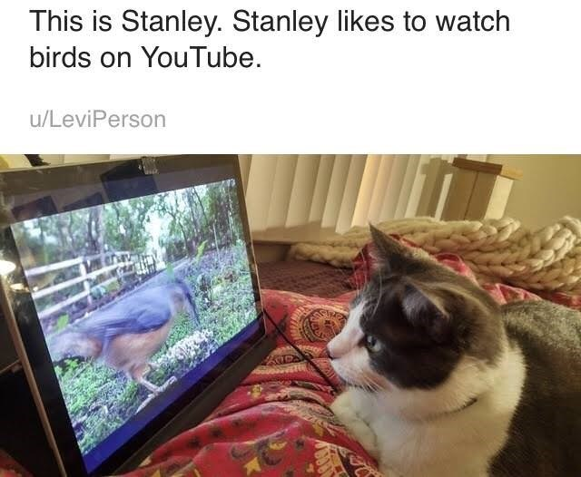 Cat - This is Stanley. Stanley likes to watch birds on YouTube u/LeviPerson