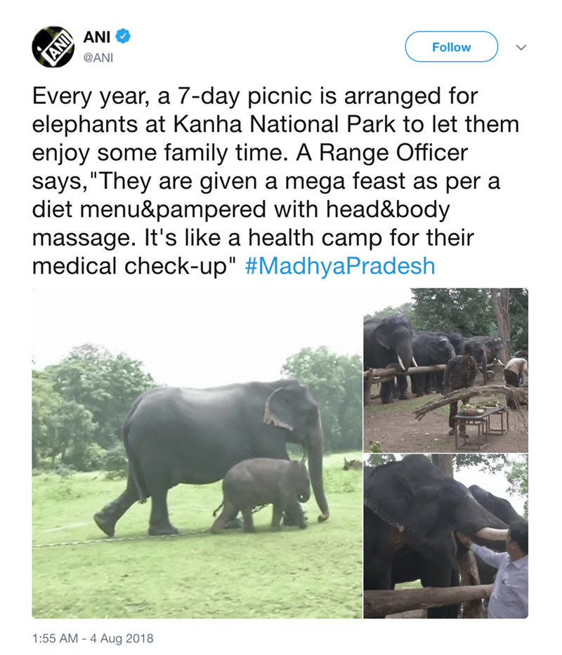 """Elephant - ANI Follow @ANI Every year, a 7-day picnic is arranged for elephants at Kanha National Park to let them enjoy some family time. A Range Officer says,""""They are given a mega feast as per a diet menu&pampered with head&body massage. It's like a health camp for their medical check-up"""" #MadhyaPradesh 1:55 AM 4 Aug 2018 IAI"""