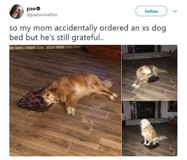 wholesome meme - Canidae - pae @paetonmathes Follow so my mom accidentally ordered an xs dog bed but he's still grateful. UEREES