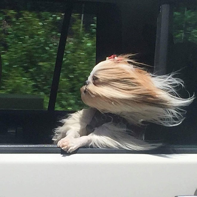 dog with long fur blowing in the wind