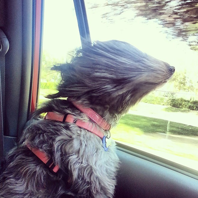 dog with long fur sticking head out car window