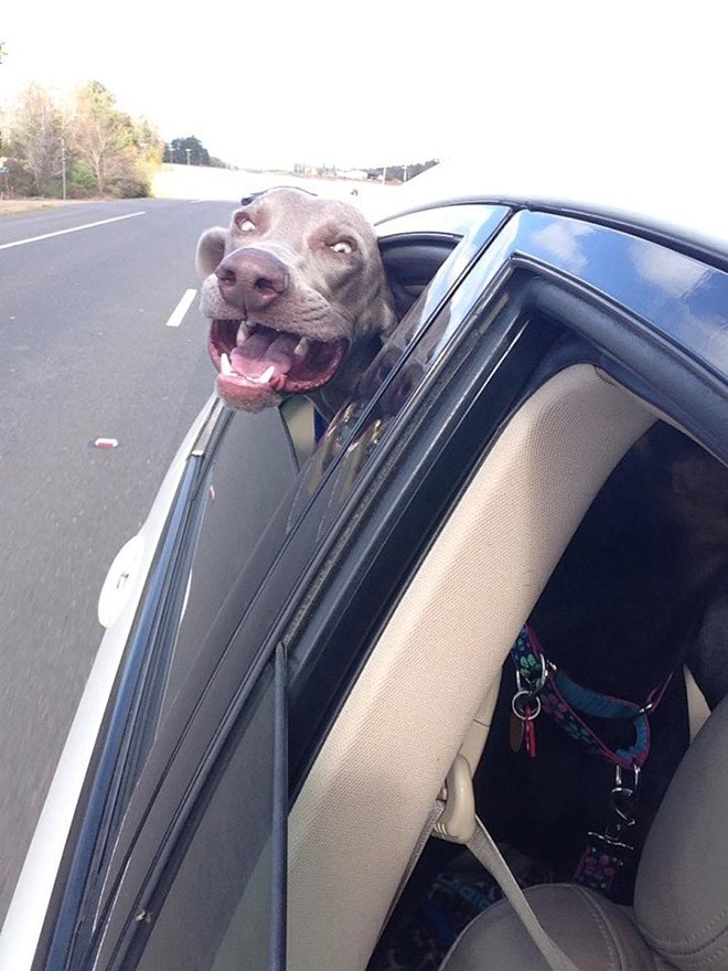 dog sticking head out of car