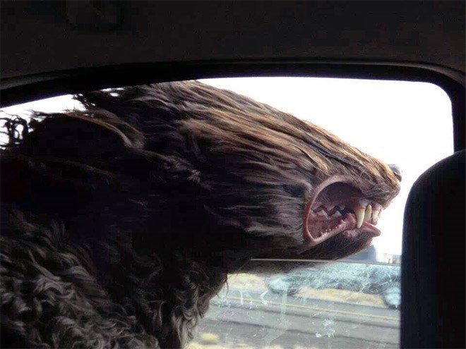 funny pic of dog sticking head out of moving car's window