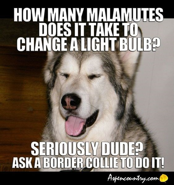 Dog - HOW MANY MALAMUTES DOES IT TAKE TO CHANGE A LIGHT BULB? SERIOUSLY DUDE? ASK A BORDER COLLIE TO DO IT! Aspencountry.com