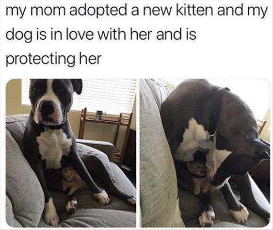 Dog - my mom adopted a new kitten and my dog is in love with her and is protecting her