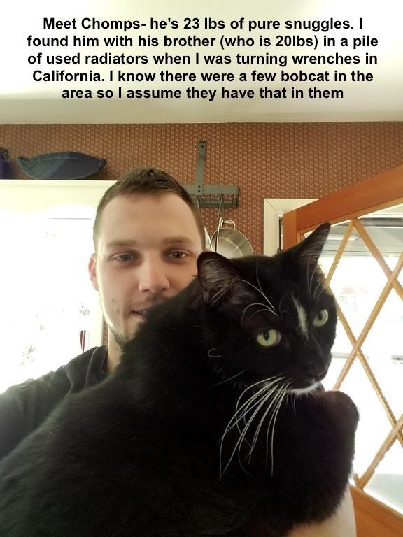 Cat - Meet Chomps- he's 23 lbs of pure snuggles. I found him with his brother (who is 20lbs) in a pile of used radiators when I was turning wrenches in California. I know there were a few bobcat in the area so l assume they have that in them