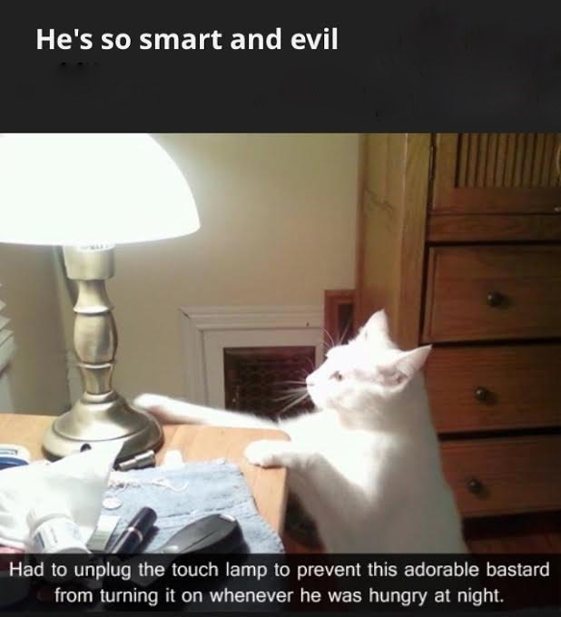 Cat - He's so smart and evil Had to unplug the touch lamp to prevent this adorable bastard from turning it on whenever he was hungry at night.