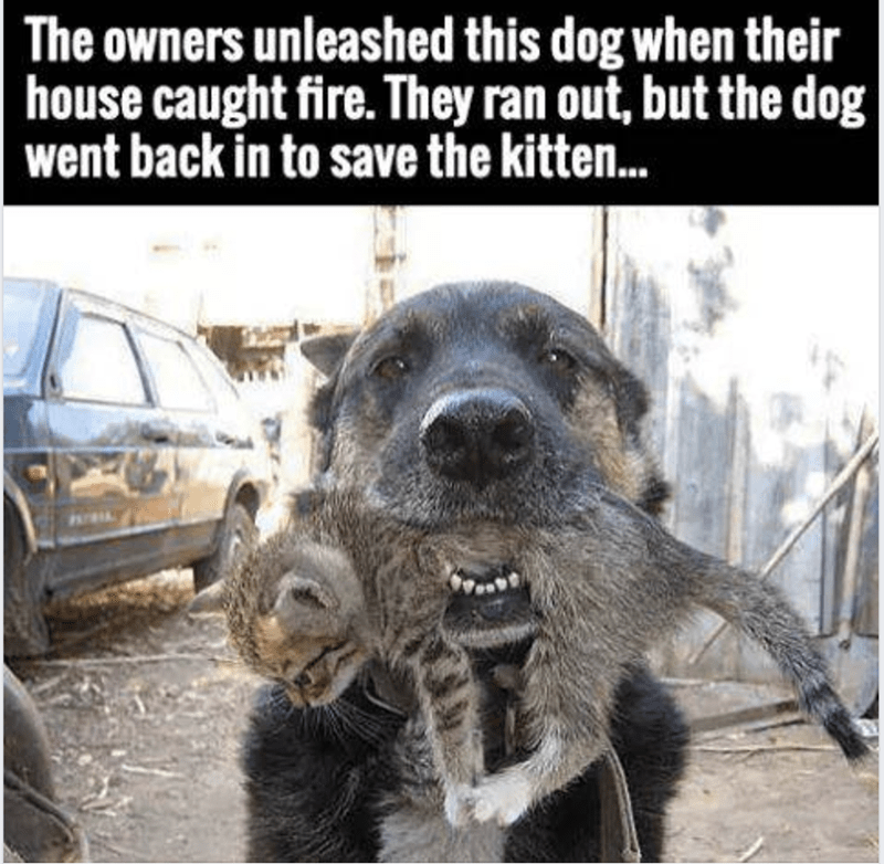 Canidae - The owners unleashed this dog when their house caught fire. They ran out, but the dog went back in to save the kitten...